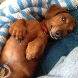 My little Dachshund foster doggie.